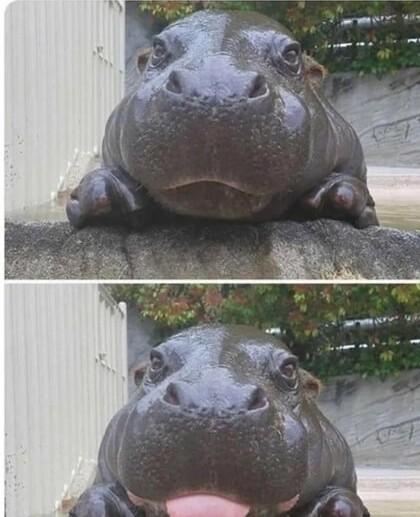 Baby hippo! - meme