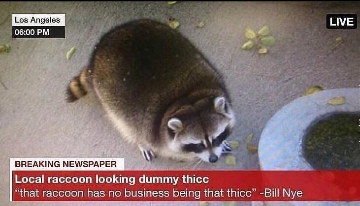 dummy thicc raccoon - meme