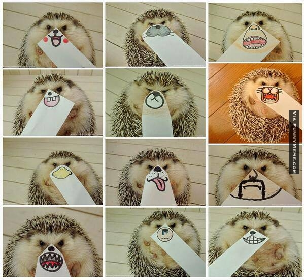 Hedgehogs! - meme