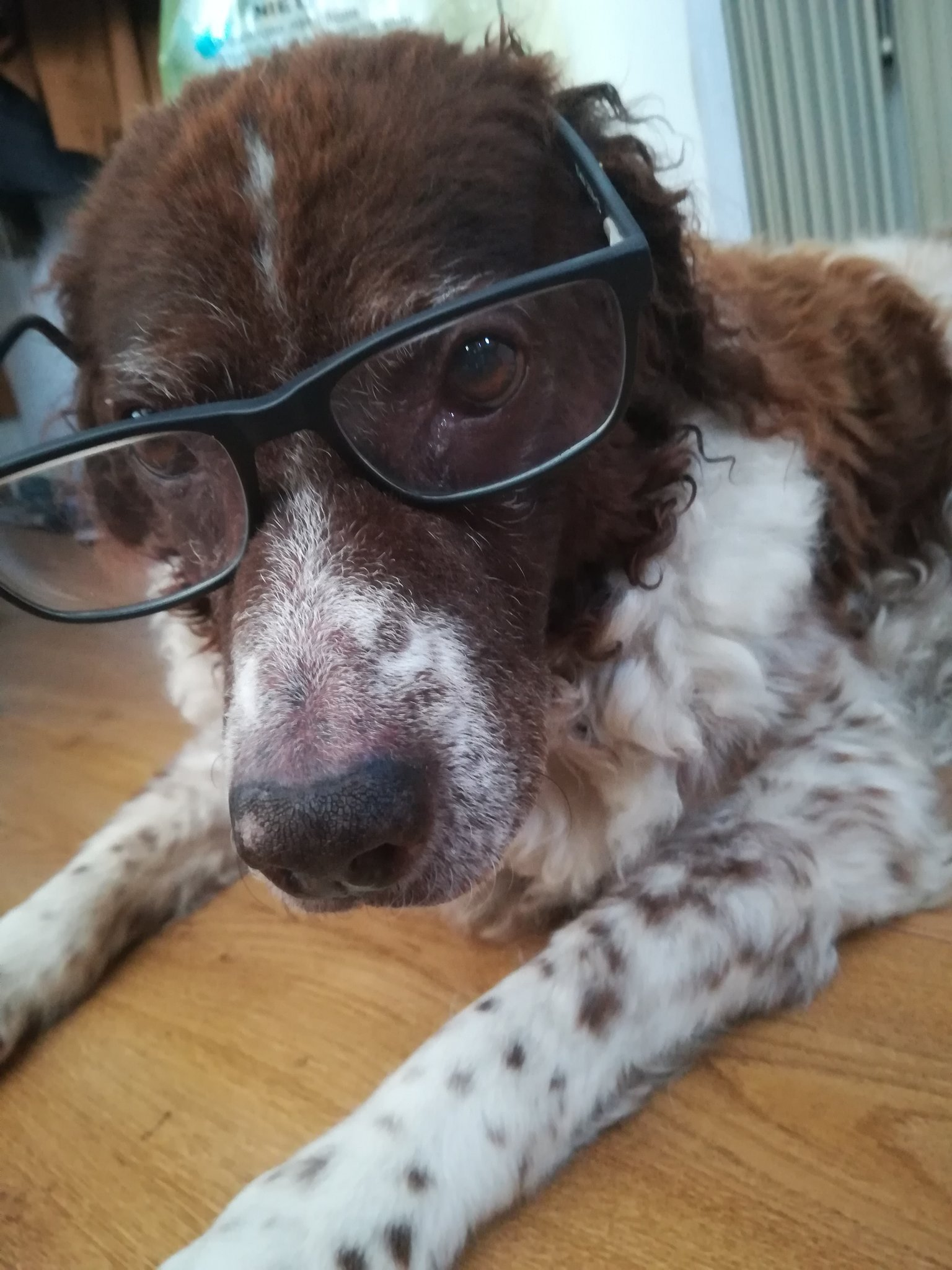 Have a picture of an old doggo with glasses - meme