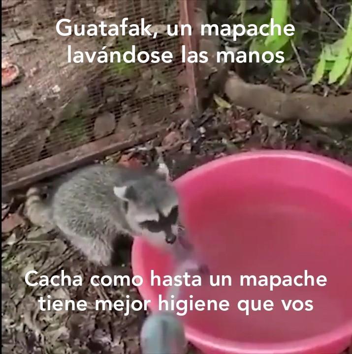 Mapache lavándose las manos de pana - meme