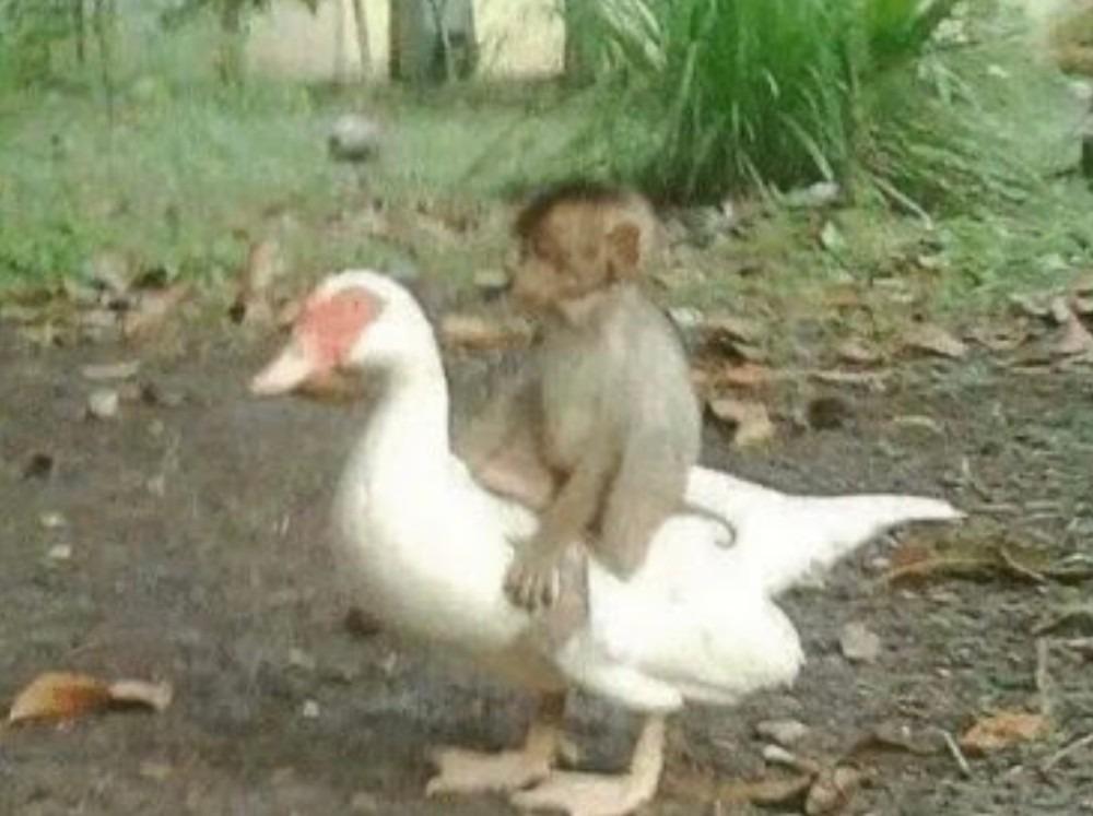 NeguinhoSafadinho comprou um pato - meme