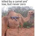 A chance de ser morto por um camelo é baixa, mas não zero.
