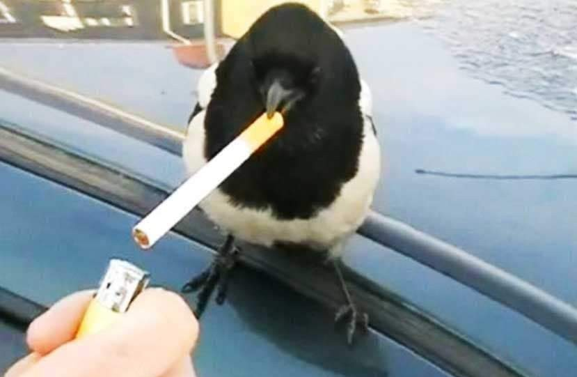 Smoke bird - meme