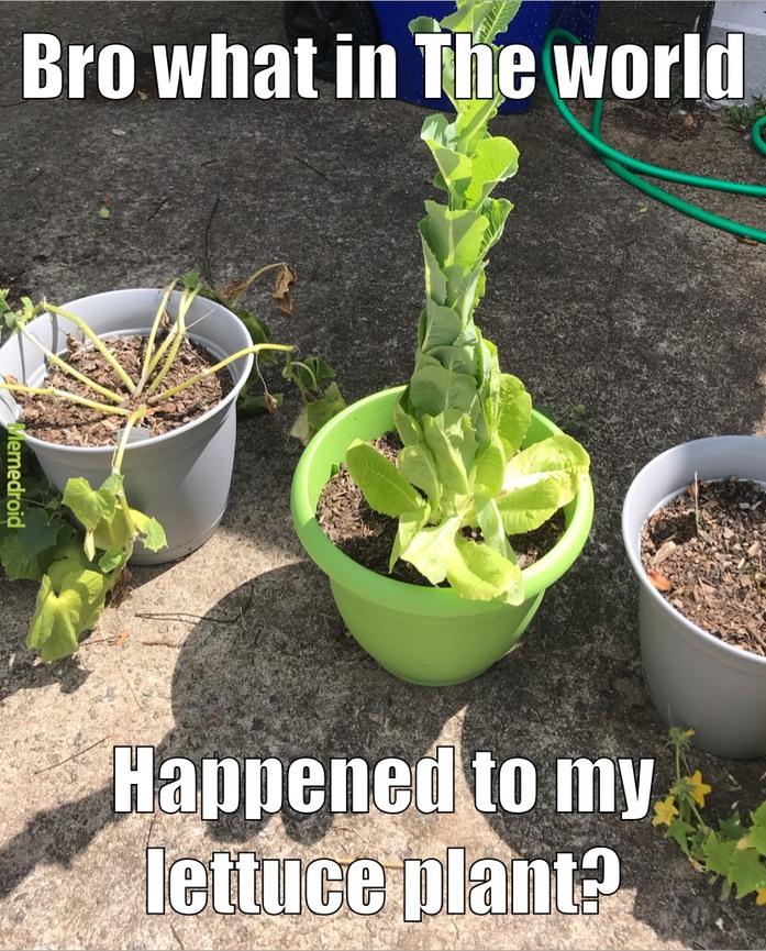 lettuce - meme