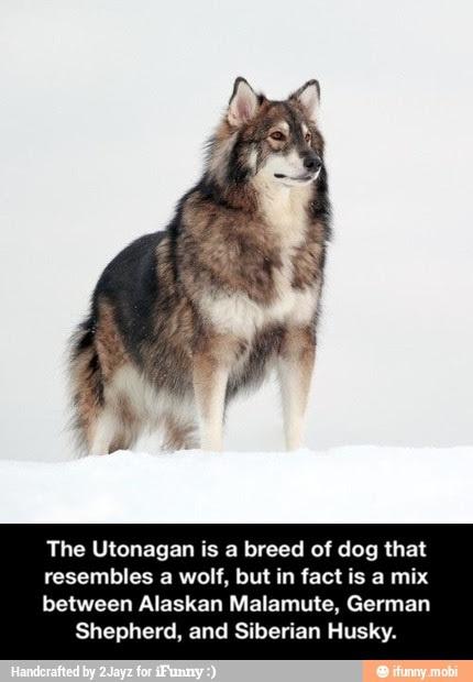 I like wolves - meme