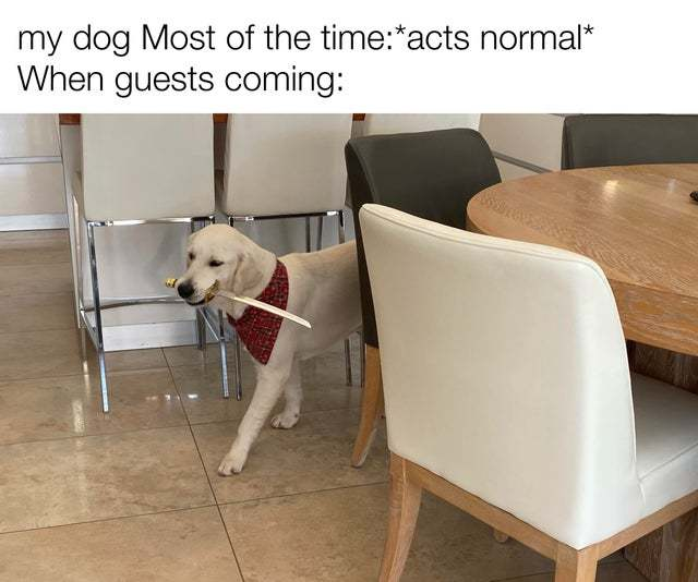My dog when guests coming - meme