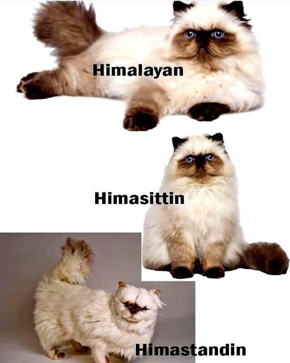 hima - meme