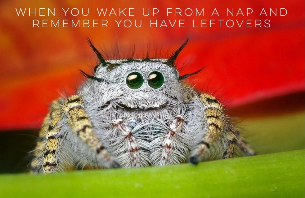 jumping spiders are adorable - meme