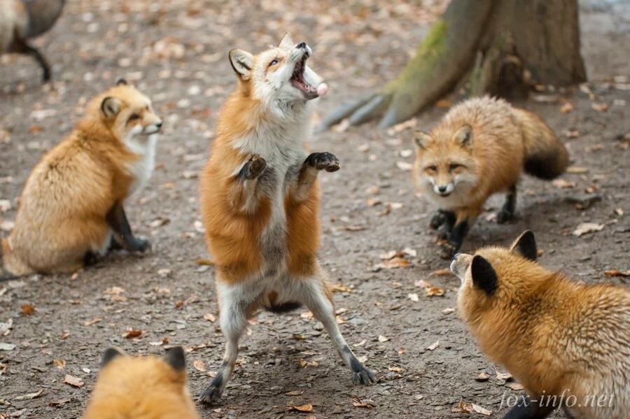 foxes are such beautiful creatures - meme
