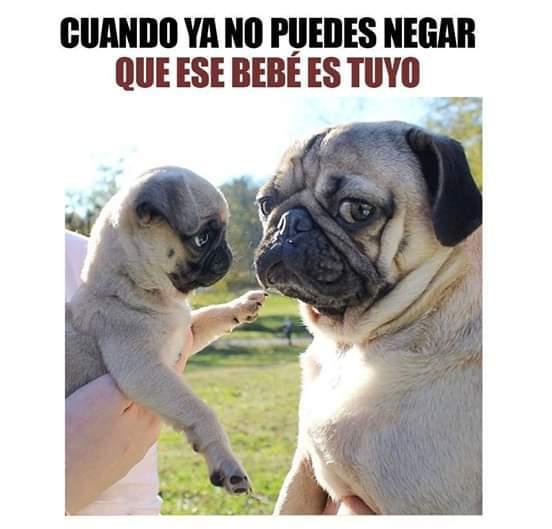 Pug - Meme subido por Dr.bigotes :) Memedroid