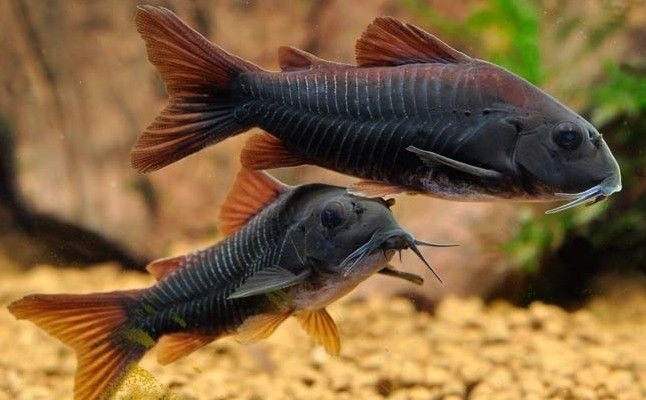 black Venezuelan corydora (despite their name they are from Peru) - meme