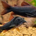 black Venezuelan corydora (despite their name they are from Peru)