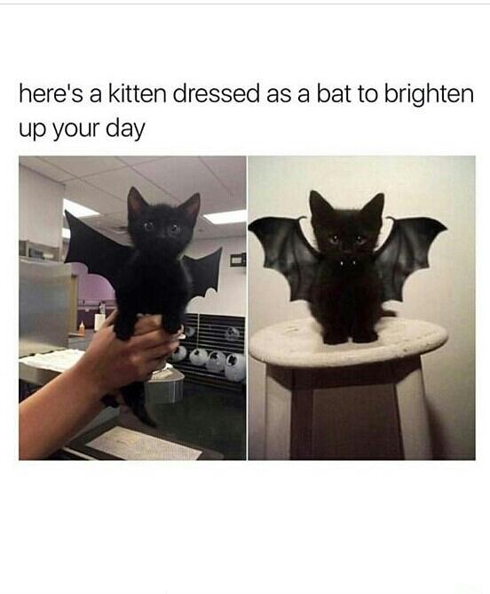 Batcat - meme