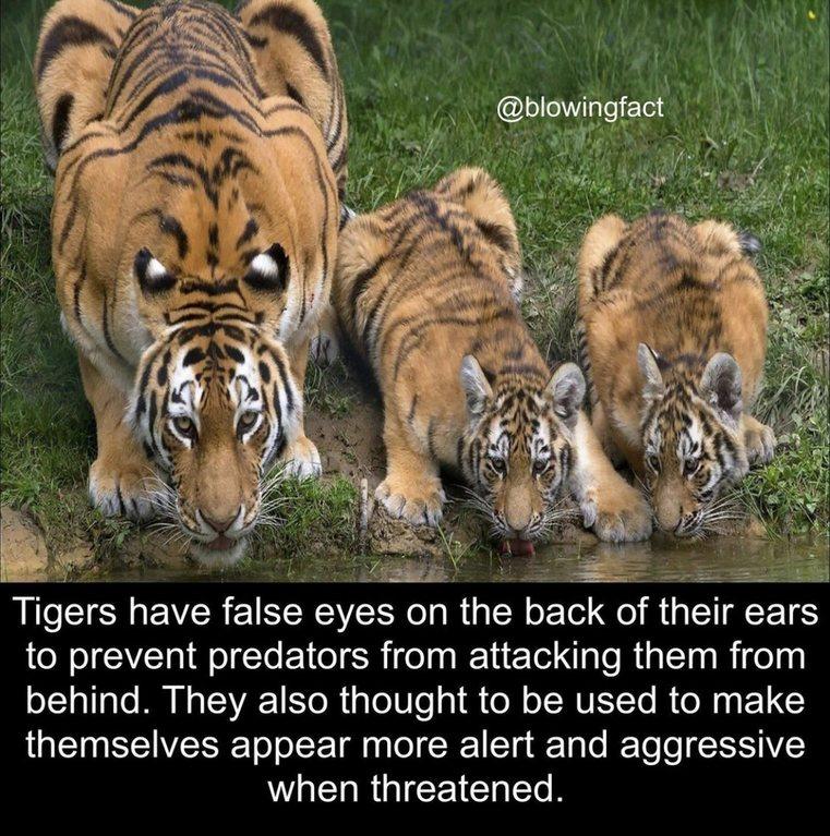 Tiger - meme