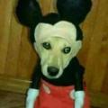 A mouse dog chimera I call it a mog
