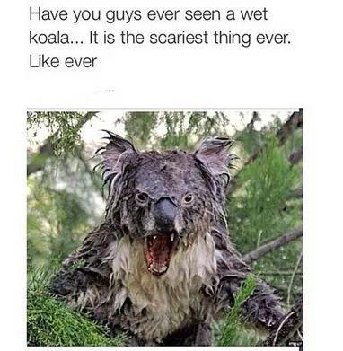 Wet Koala Bear Images