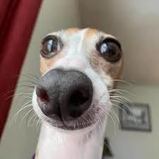 Perro reveal :trollface: - meme