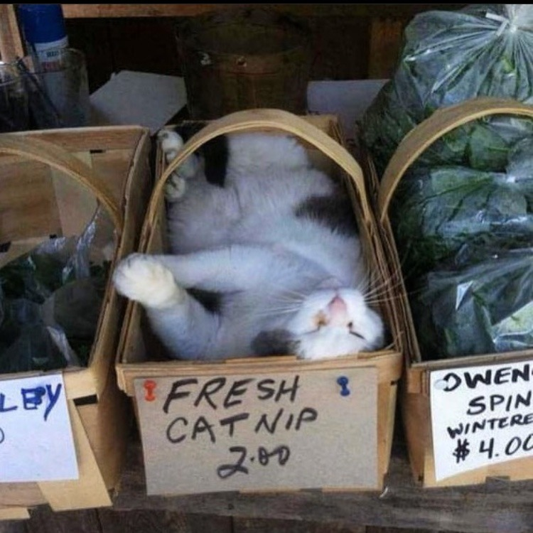 fresh catnip - meme