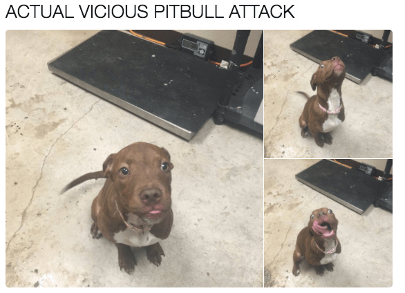 compensation for recent pitbull memes