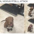 compensation for recent pitbull memes