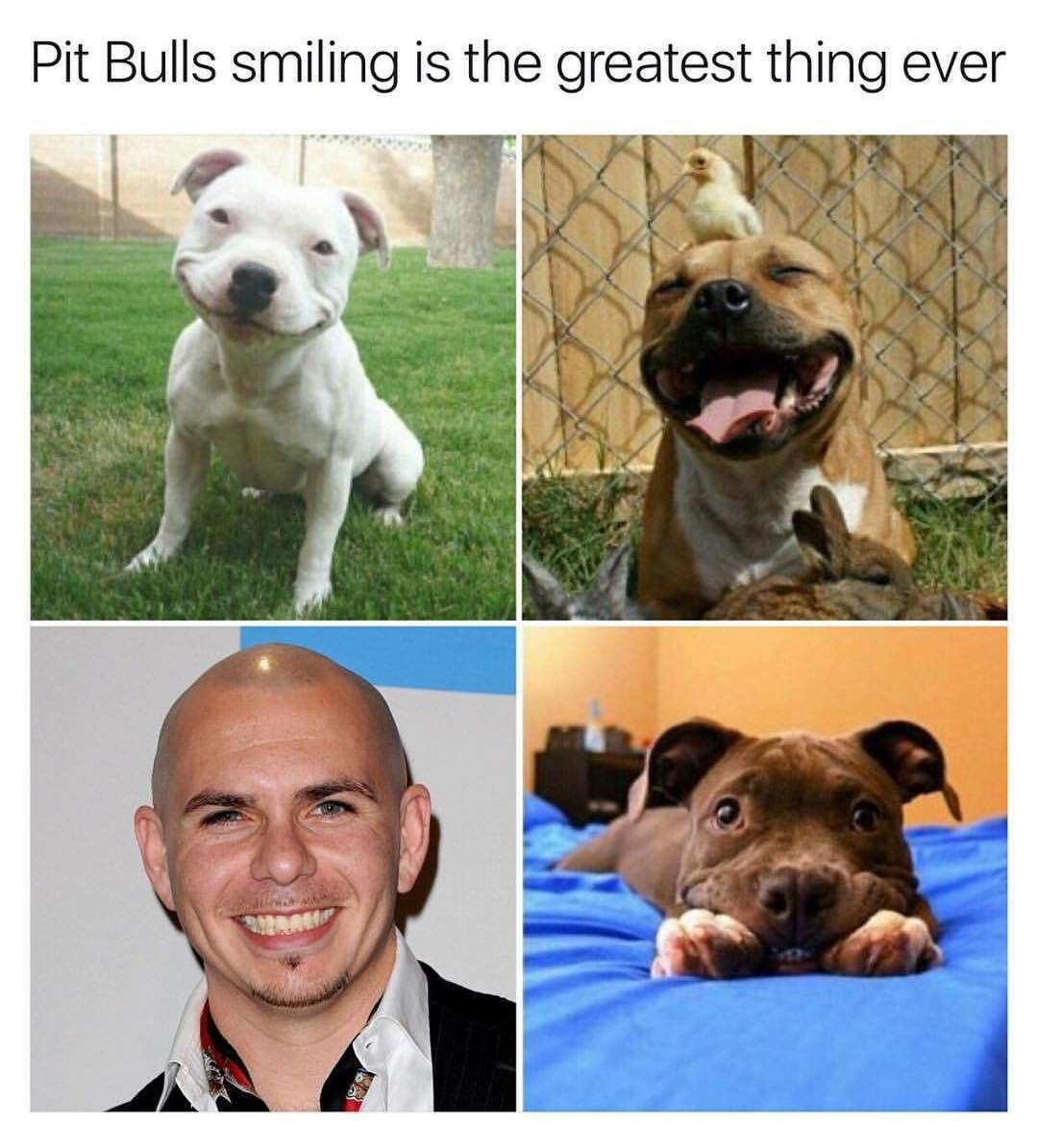 Comment pitbull if you see this - meme