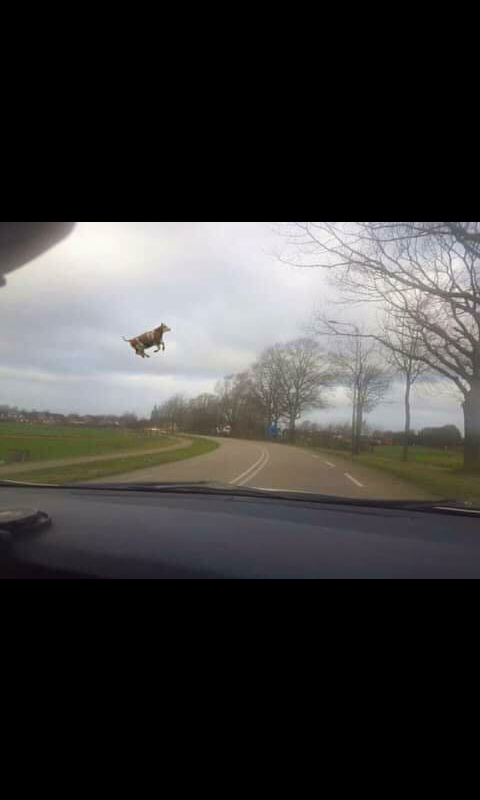 Flying cow - meme