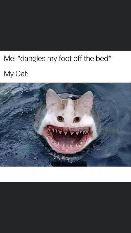 You average everyday cat - meme