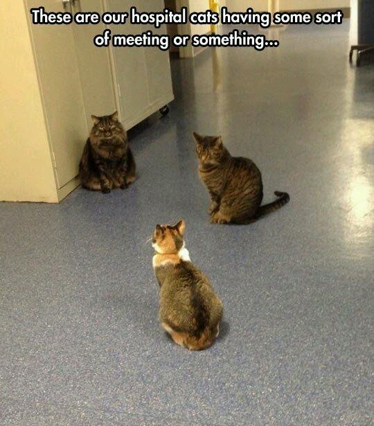 Weekly cat meeting - meme