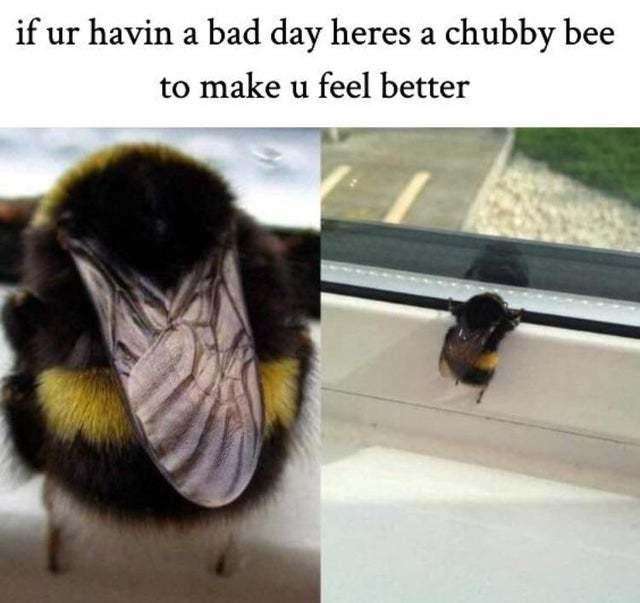 Chubby bee to make you feel better - meme