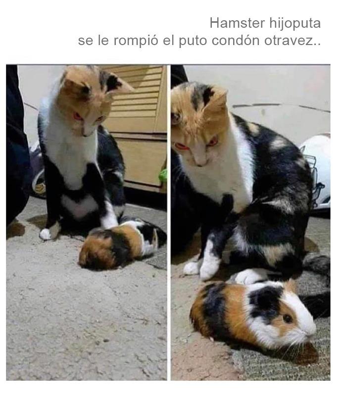 El gato loco - meme
