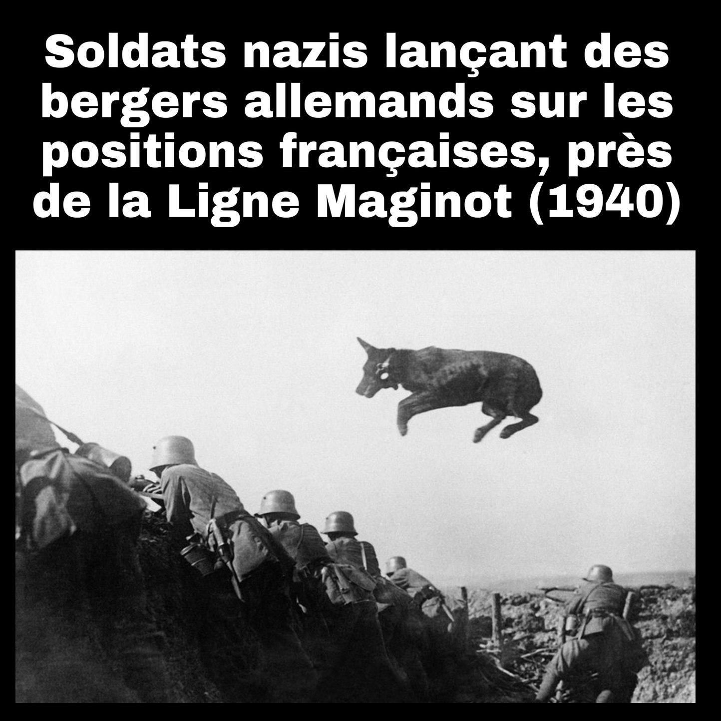 98% des bergers allemands sont des chiens. Le reste étant des bergers de profession qui vivent en Allemagne - meme