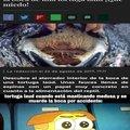 Y si, las tortugas marinas comen medusas, de ahí que se ahoguen con bolsas de plástico, por confundirse (postdata: la foto de Grillo la saqué de Google)
