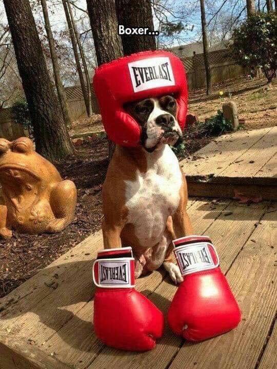 boxer boxing - meme