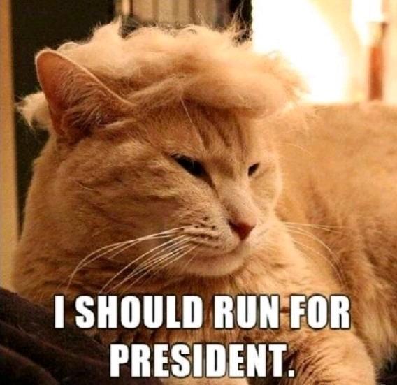 A cat look like Donald Trump - meme