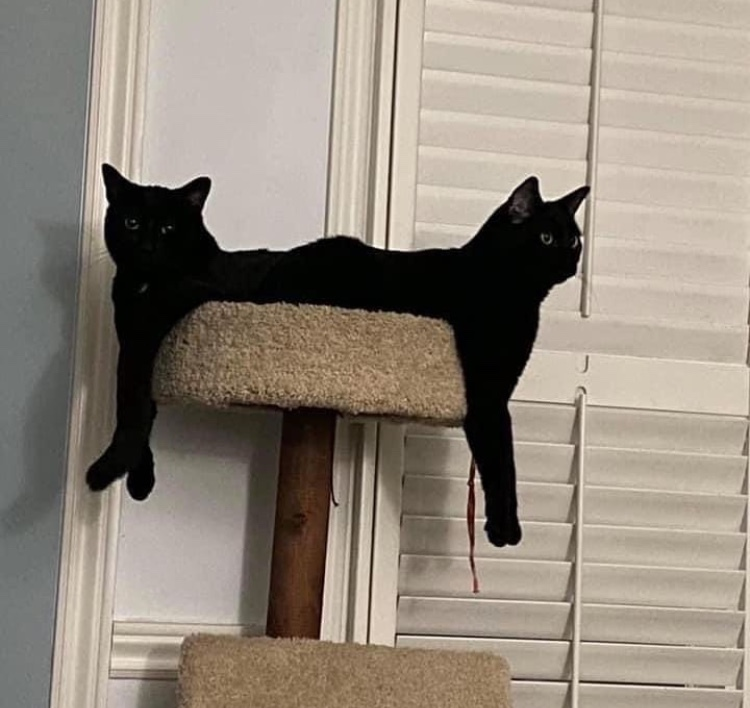 cat dog but just cat cat - meme