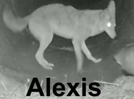 Alexis - meme