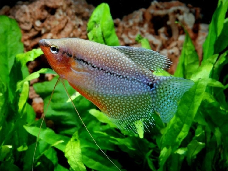 pearl gourami (all gouramies need to breath atmospheric air from time to time) - meme