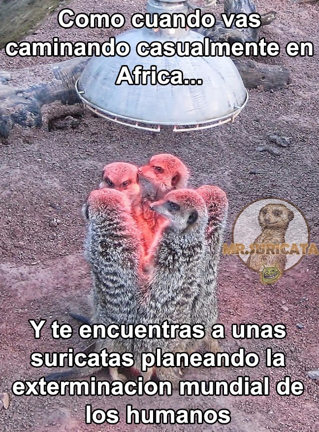 Esas suricatas son unas loquillas - meme