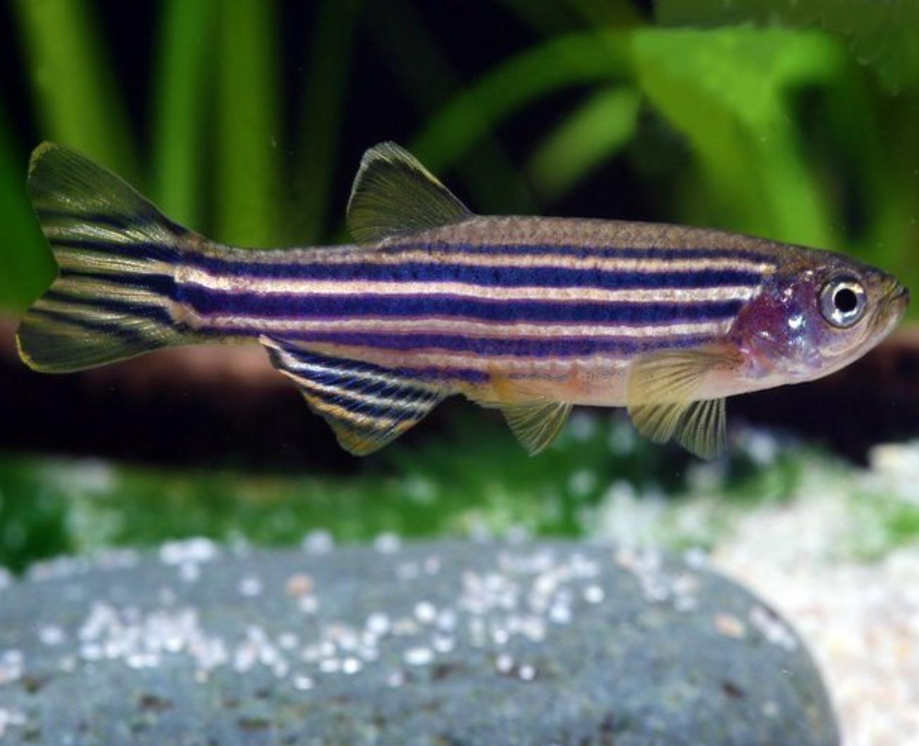 zebra danio (it's the most used fish in laboratories) - meme