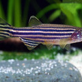 zebra danio (it's the most used fish in laboratories)