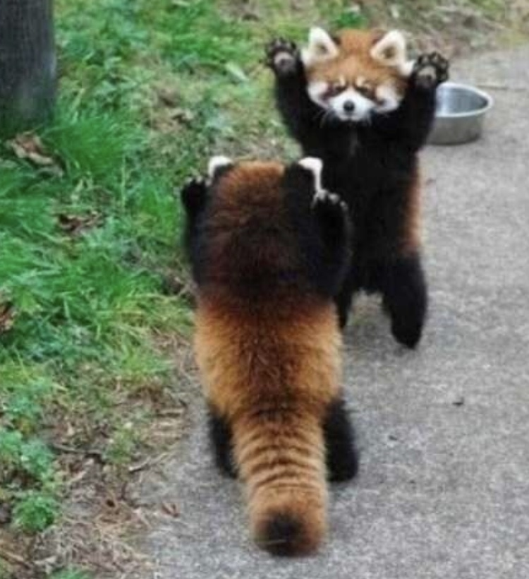 If your having a bad day check out these cute red pandas - meme