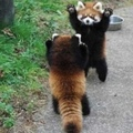 If your having a bad day check out these cute red pandas