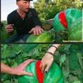 Já colheu sua sua melancia hj? Olhou se tá madura?