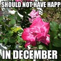 At least my roses are pretty