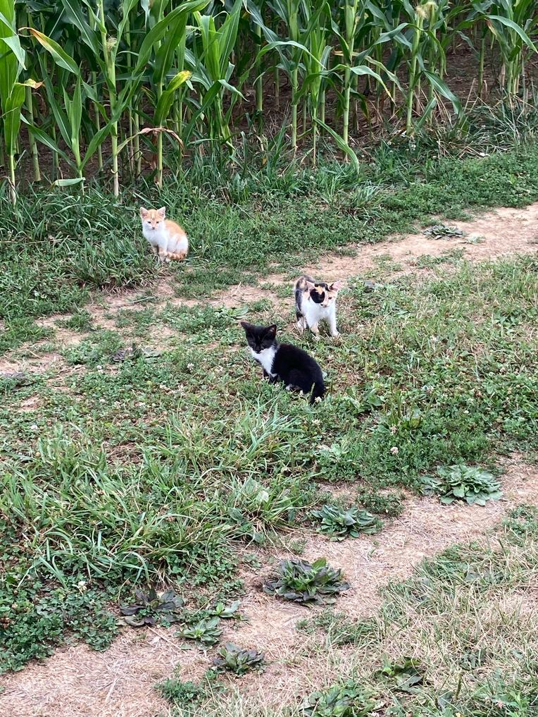lil farm kitties - meme