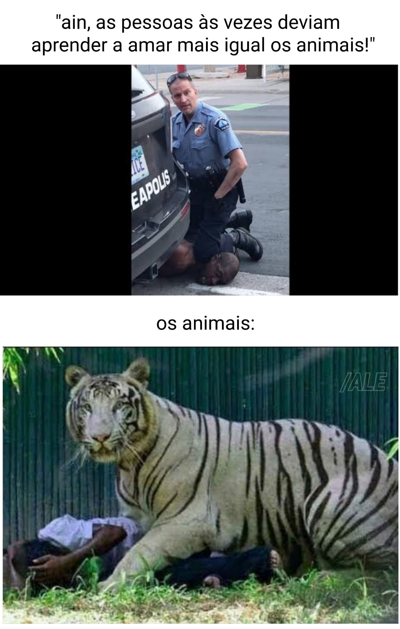 tigres brancos não passarão - meme