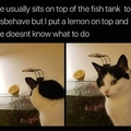 Cat afraid of lemon