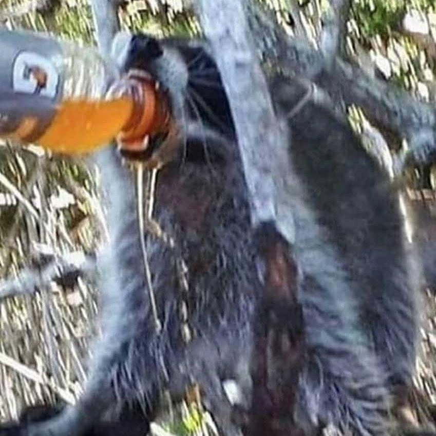 Gulp                                         (Stolen from racoon eggs) - meme