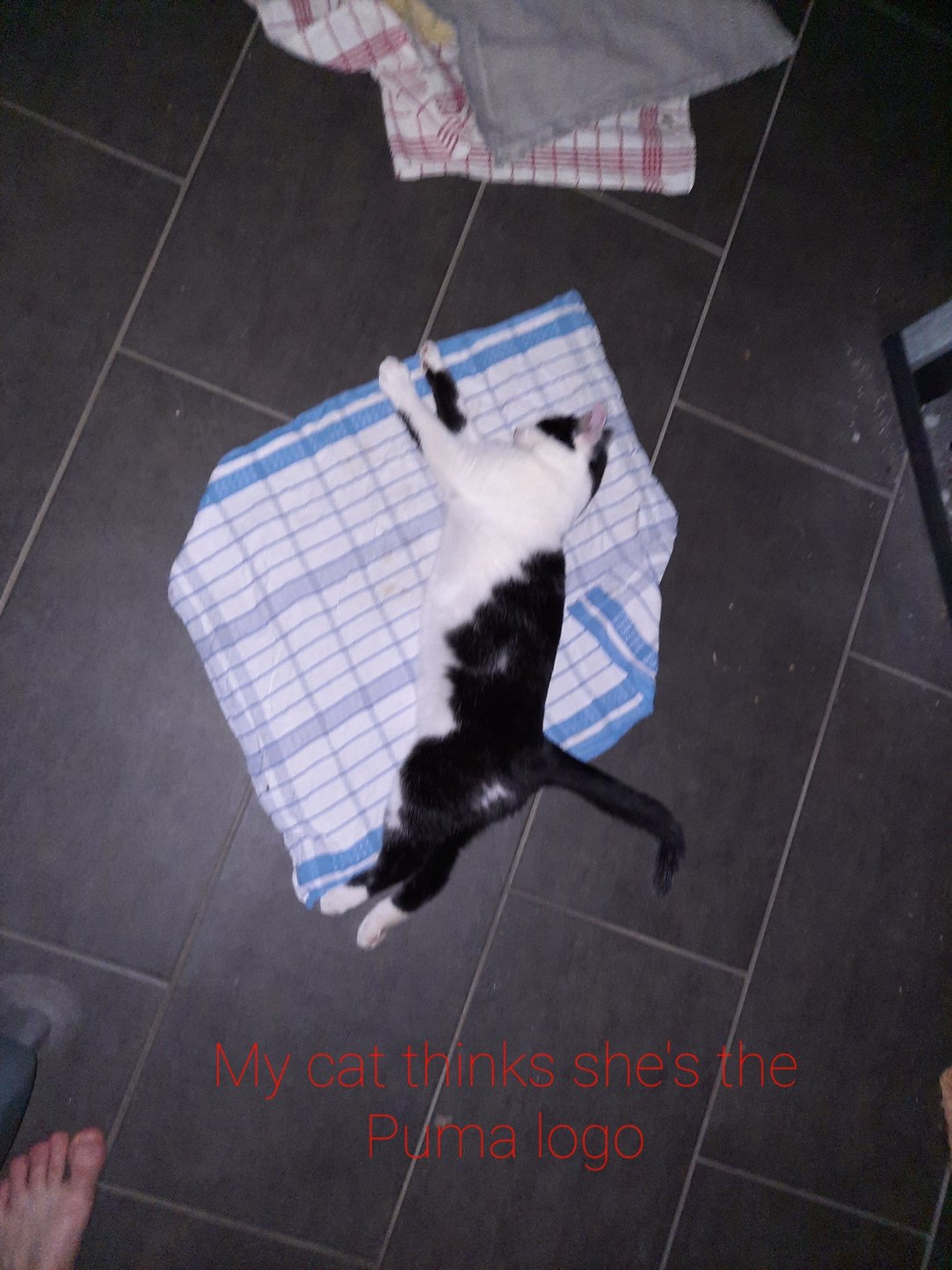 Puma cat - meme
